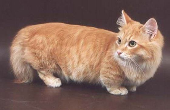 Rare breed of short-footed cats Munchkin is becoming more common