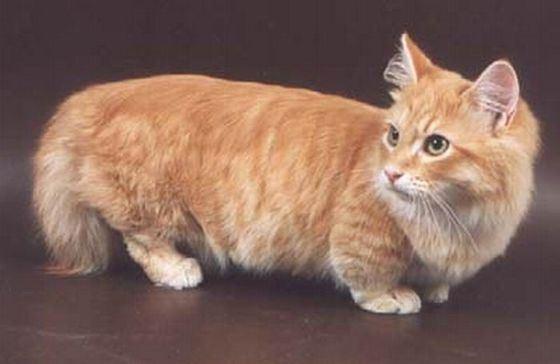 Редкая порода коротколапых кошек Манчкин получает все большее распространение