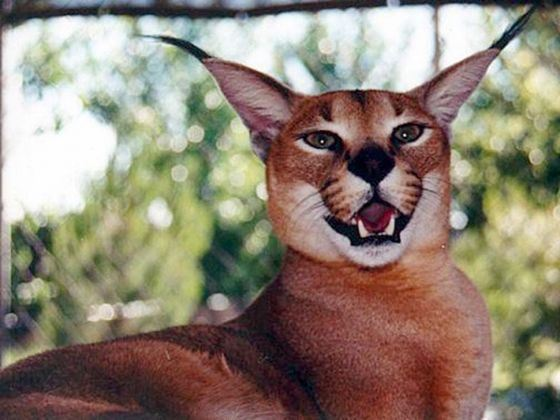 Rare breed Caracal managed to save