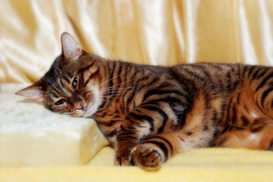 Тойгер очень редкая и очень дорогая кошка