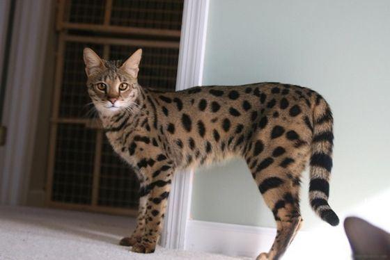 Ашера - порода кошек, которой не было