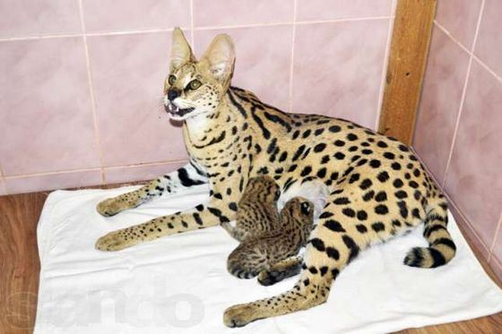 Domestic Serval - the rarest breed of cats today