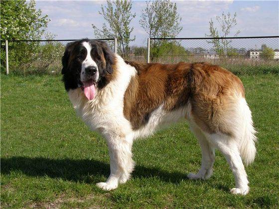 Владельцы загородных домов предпочитают держать собак сторожевых пород