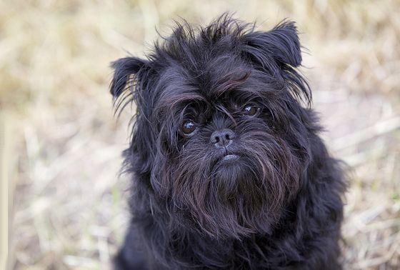 Аффенпинчер - редкая и необычная декоративная собака