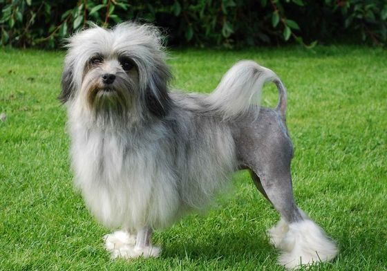 Лион бишон самая редкая порода собак по версии Книги рекордов Гиннеса