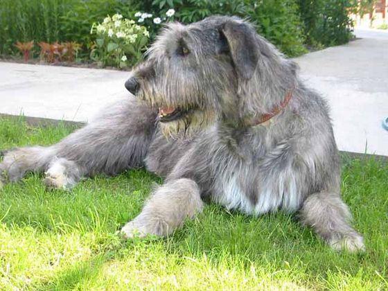 Ирландский волкодав - древняя порода овчаров, ставшая на сегодняшний день редкой