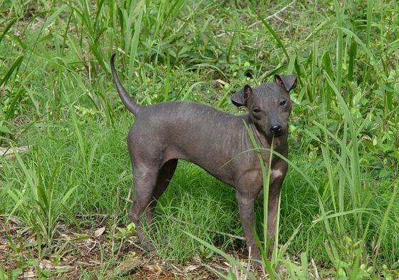 Американский безволосый терьер - самая необычная порода собак