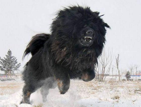 Тибетский мастифф необычная и дорогая порода