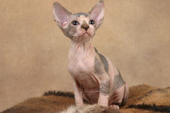 Сегодня люди все чаще заводят лысых кошек