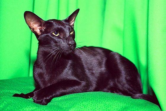 Ориентальные кошки почти так же популярны, как лысые