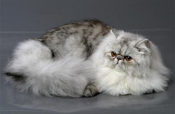Персидская порода кошек признана самой популярной в мире