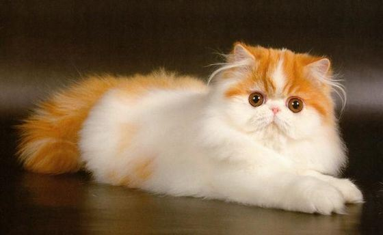 Персидские кошки очень добрые и ласковые