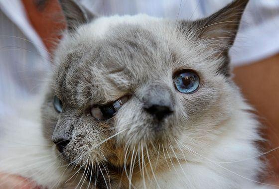 Самый старый двухголовый кот «Фрэнк и Луи»