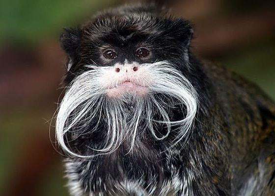 Усатая мартышка - самая усатая обезьяна