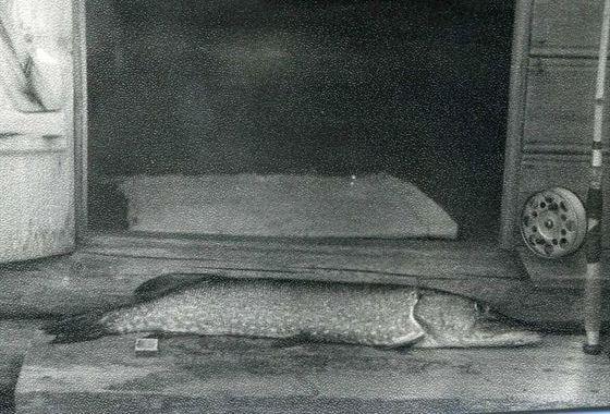 По легендам, самой старой пойманной щуке было 300 лет