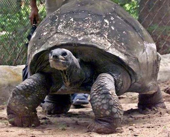 Самая старая в мире черепаха по кличке Джонатан