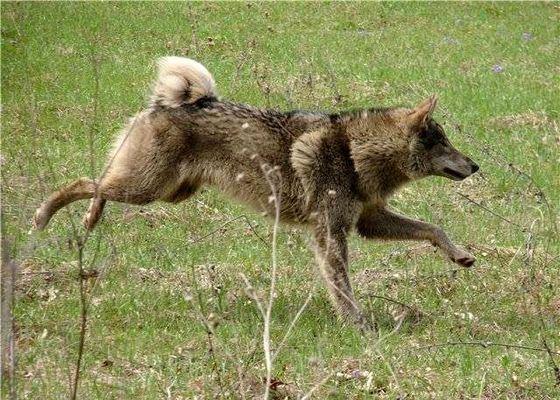 Волкособаки не всегда служат людям