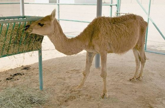 The hybrid of a camel has turned out very hardy