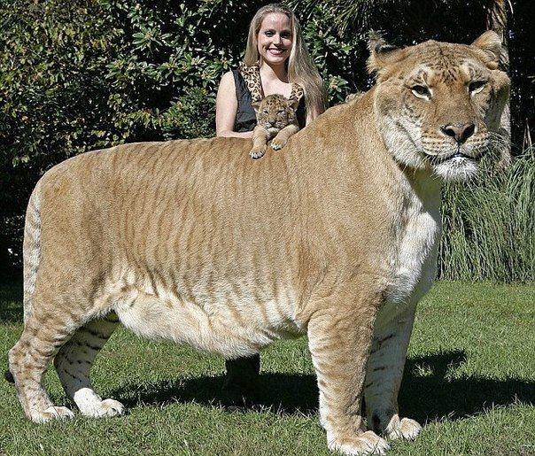 The child of the lion and the tigress ligre is the largest cat