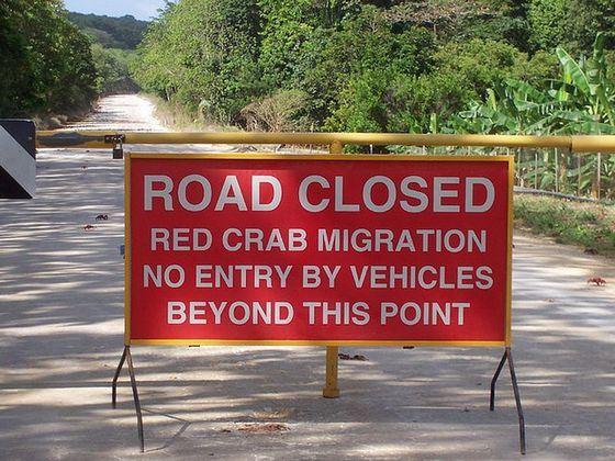 Ради такого редкого явления как миграция красных крабов перекрывают дороги