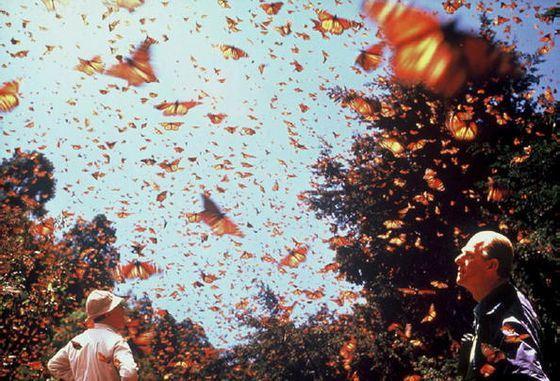 Удивительная миграция бабочек Монархов