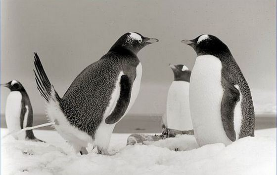 Scientists have figured out how penguins are popping