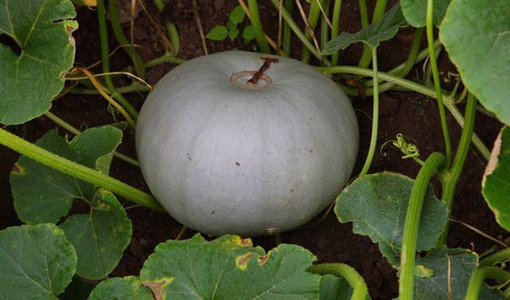 Волжская серая 92 - самый сладкий сорт тыквы