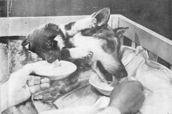 Двухголовая собака Демикова