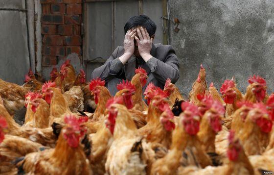 Птичий грипп - известная болезнь в новейшей истории