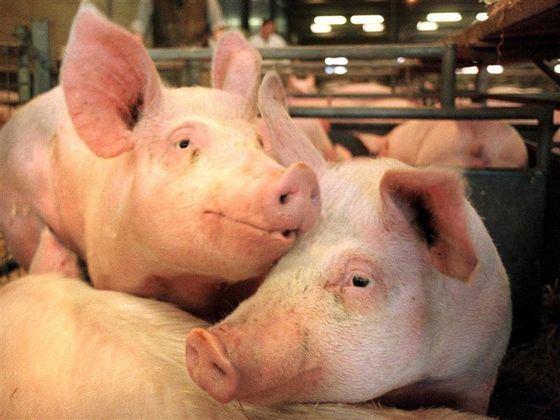 Свиной штамм один из самых известных и опасных вирусов гриппа