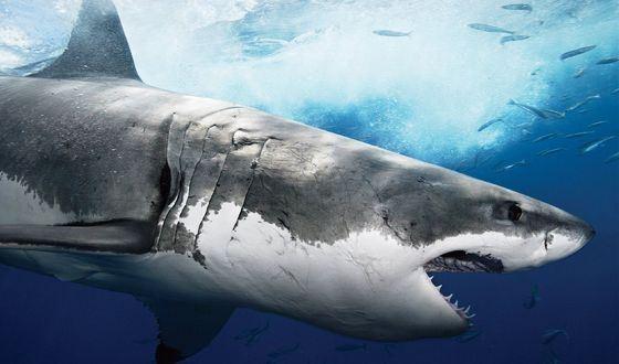 Иногда эти хищники едят нелепые вещи - в желудке акулы нашли документы