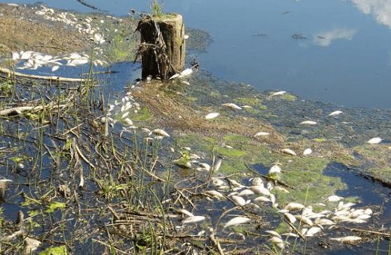 В реке Осуга происходит массовая гибель рыбы