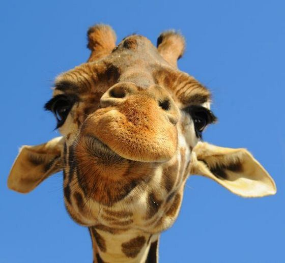 Giraffe on the avatar - memorable flashmob VKontakte