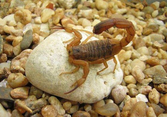 Яд жёлтого скорпиона полезен при лечении рака