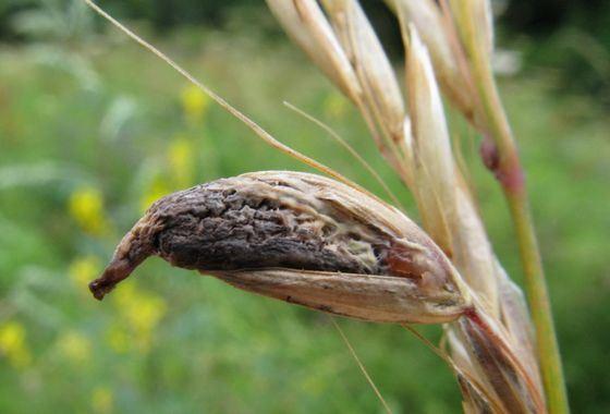 Яд грибов спорынья лечит головную боль