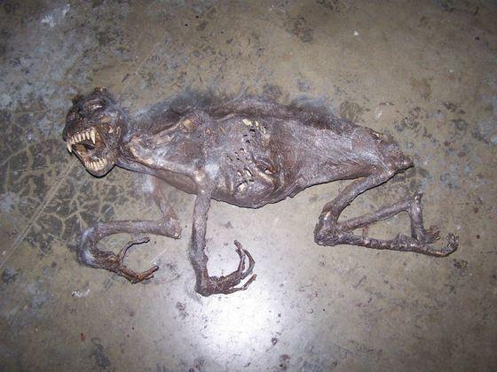 Рассказывают о том, что найден скелет чупакабры
