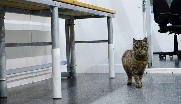 Кошку из аэропорта Владивостока приютил хоккейный клуб «Адмирал»