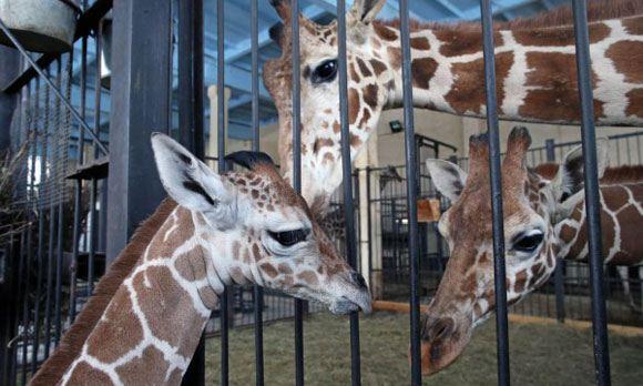 В зоопарке Калининграда погибла трехлетняя самка жирафа