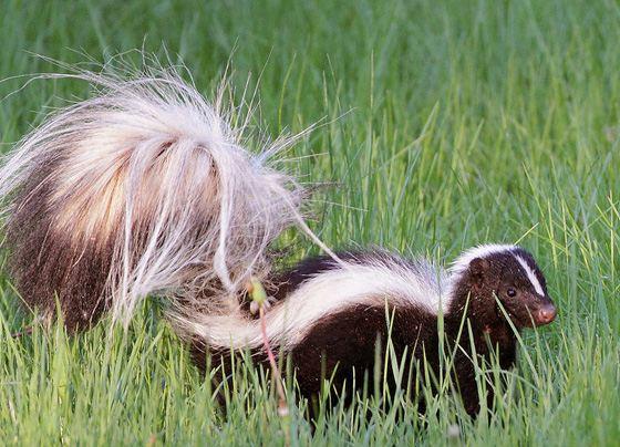 Полосатый хорек является самым дурнопахнущим животным на Земле