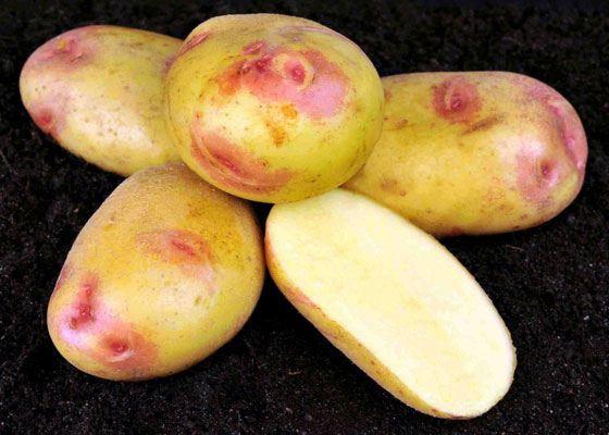 Картофель сорта «Vales Soverign» может произрастать при меньшем количестве азота