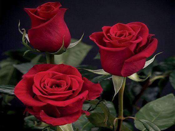 Розы, кроваво-красные, как знак Вашей страсти