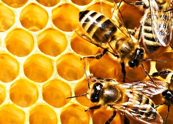 Апитерапия – это направление медицины, которое основано на применении вырабатываемых пчелами натуральных природных продуктов