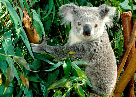 равоядное сумчатое животное коала живет в Австралии и питается эвкалиптовыми листьями