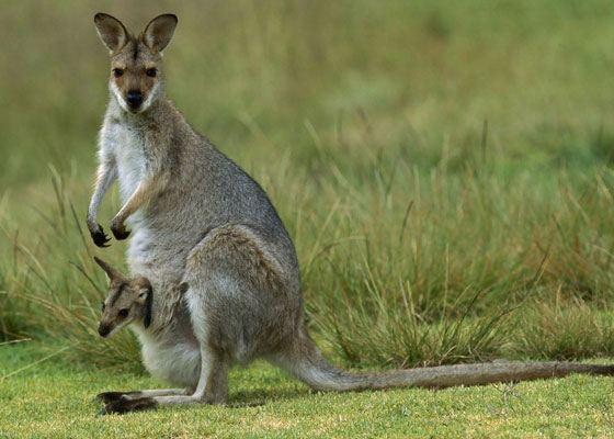 Кенгуру – официальный символ Австралии, потому что больше нигде в мире кенгуру не обитают