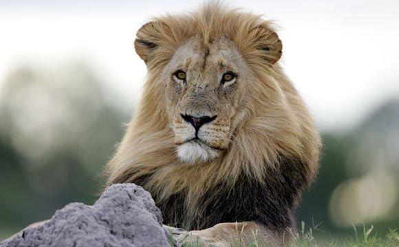 В Зимбабве на нелегальном сафари застрелили знаменитого льва