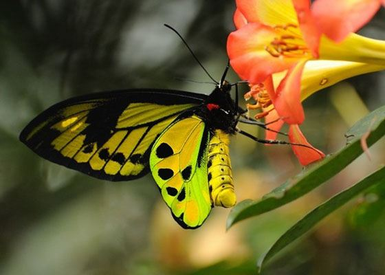Chimaera Birdwing