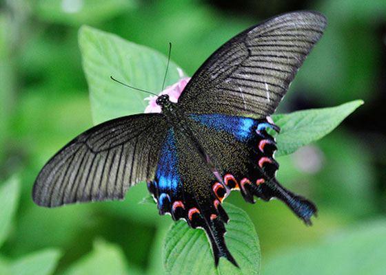 Luzon Peacock Swallowtail