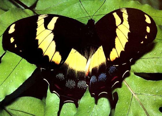 Jamaican Giant Swallowtail