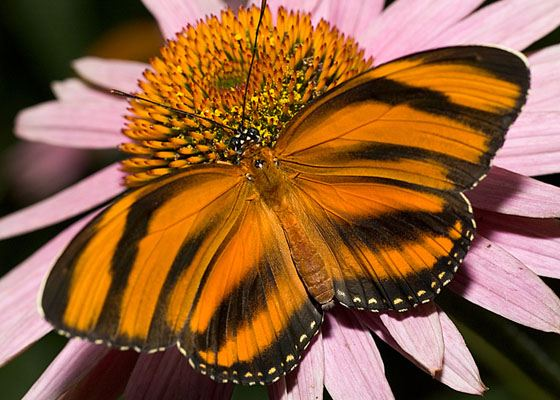 Banded Orange Tiger