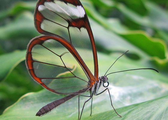 Glasswinged